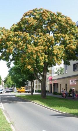 Ailanthus altissima, Mannheim 2012