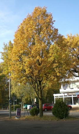 Quercus robur Fastigiata, Hamburg 2011