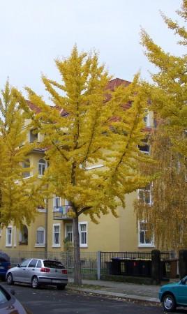 Ginkgo biloba, Dresden 2009