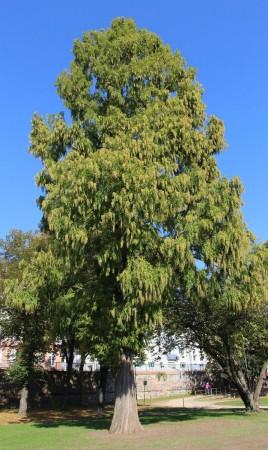 Metasequoia glyptostroboides, Frankfurt 2015