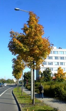 Acer platanoides Farlakes Green, Leipzig 2010