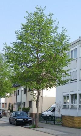 Alnus spaetii, Mannheim 2012